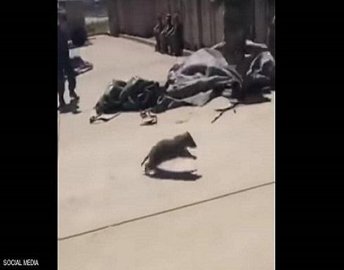 فيديو لراكون يقتحم ناقلة جند أميركية.. انظر ماذا فعل الجنود!