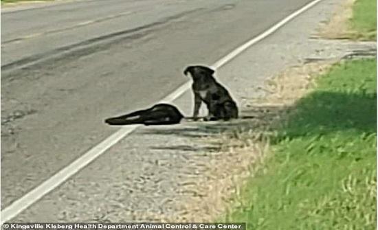 مؤثر.. كلب يرفض ترك جثة شقيقته على طريق سريع