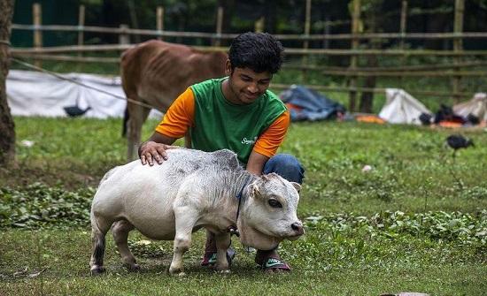 أشهر بقرة في بنجلاديش تدخل جينيس - صورة