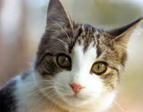 """بـ """"7"""" دولارات في الساعة.. فندق ياباني يؤجر القطط للنزلاء"""