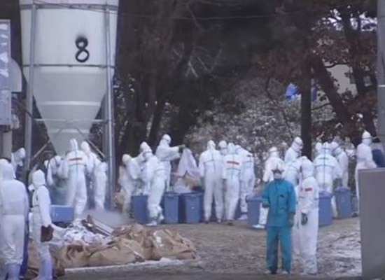 بالفيديو: اليابان تعدم أكثر من 300 ألف طائر