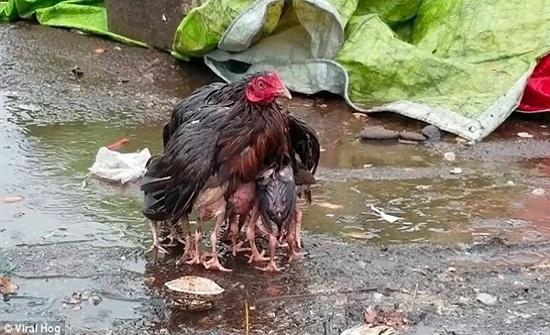 دجاجة تعطي درسًا فى الأمومة.. صور