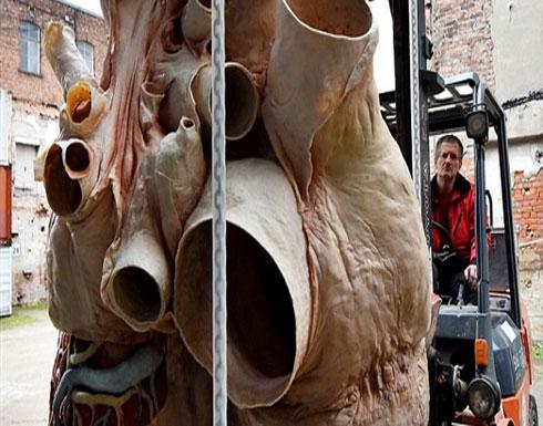 بالفيديو والصور.. الكشف عن أول قلب حوت محفوظ في العالم
