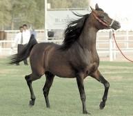 الخيول تتألق في المسابقة